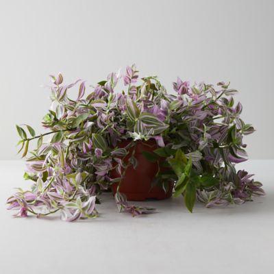 Tradescantia Tricolor Plant