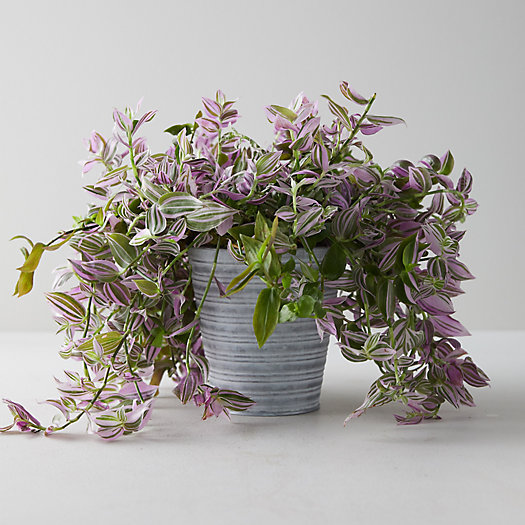 View larger image of Tradescantia Tricolor Plant, Striped Pot
