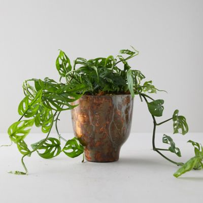Swiss Cheese Plant, Copper Pot