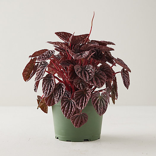 View larger image of Peperomia Caperata Emerald Ripple Red Plant