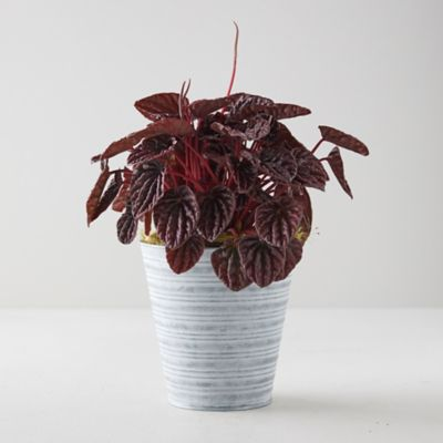 Peperomia Caperata Emerald Ripple Red, Stripe Pot