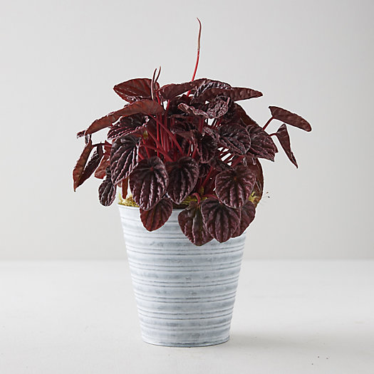 View larger image of Peperomia Caperata Emerald Ripple Red, Stripe Pot