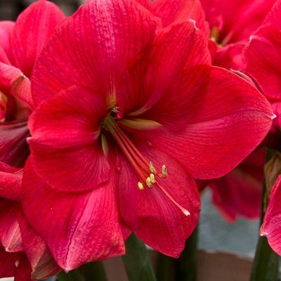 Amaryllis Pink Rival Bulb