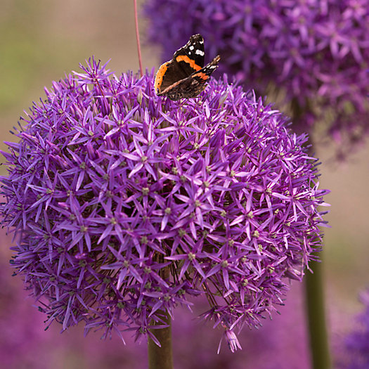 View larger image of Allium Dutchman Bulb