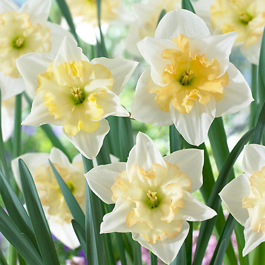 View larger image of Narcissus Changing Colors Bulbs