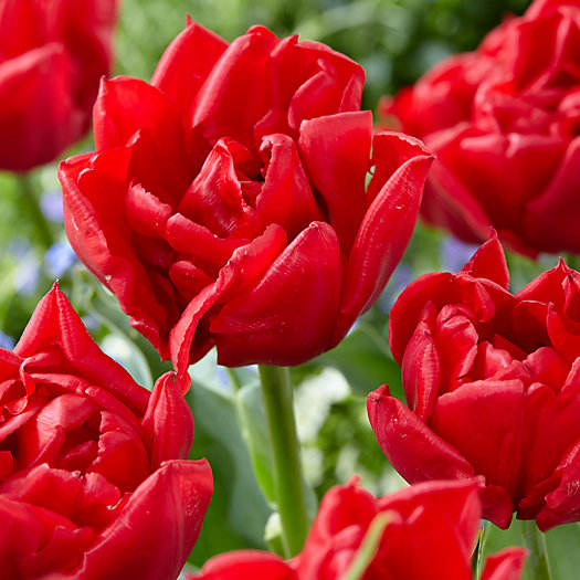 View larger image of Tulip Spitfire Bulbs