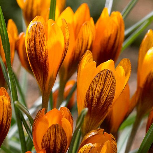 View larger image of Crocus Orange Monarch Bulbs