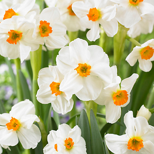 View larger image of Narcissus Geranium Bulbs