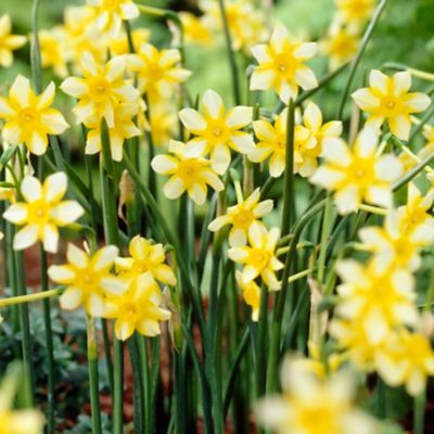 Narcissus New Baby Bulbs