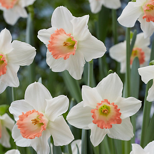 View larger image of Narcissus Pink Charm Bulbs