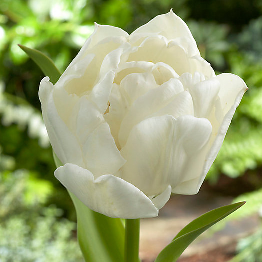 View larger image of Tulip Mount Tacoma Bulbs