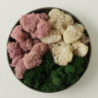 Preserved Pink Reindeer Moss, Set of 3