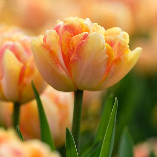 View larger image of Tulip Foxy Foxtrot Bulbs
