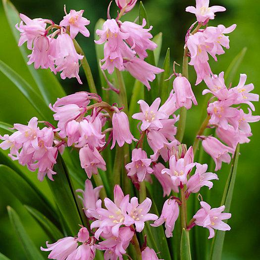 View larger image of Hyacinthoides hispanica Bulbs