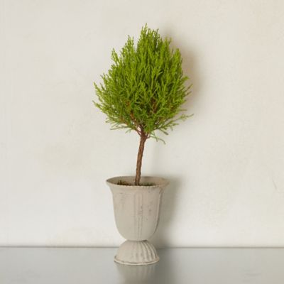 Lemon Cypress Topiary, Metal Urn