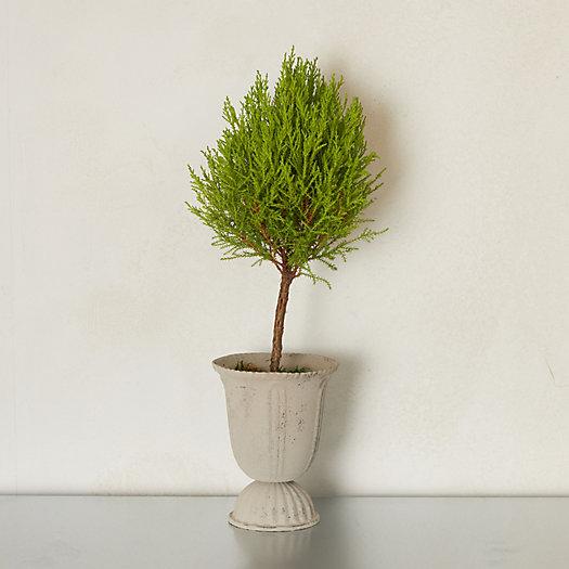 View larger image of Lemon Cypress Topiary, Metal Urn