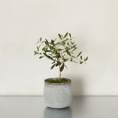 Olive Tree, Metal Pot