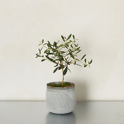 View larger image of Olive Tree, Metal Pot
