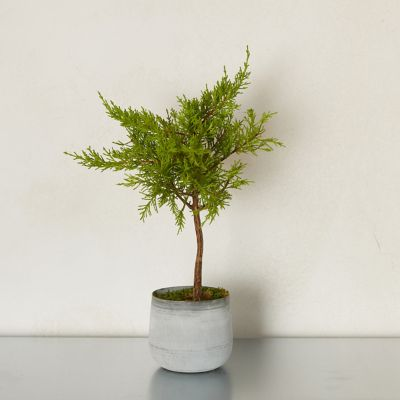 Lemon Cypress Topiary, Metal Pot