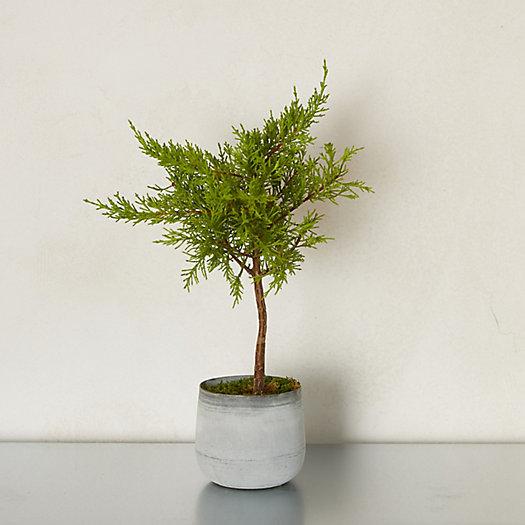 View larger image of Lemon Cypress Topiary, Metal Pot