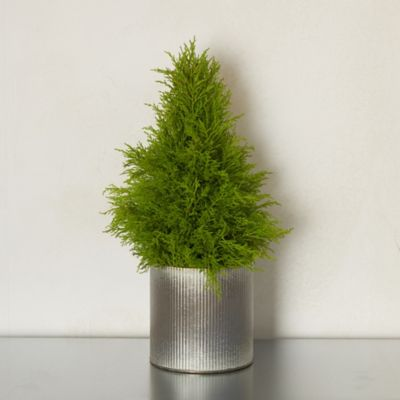 Lemon Cypress Cone Topiary, Ribbed Metal Pot