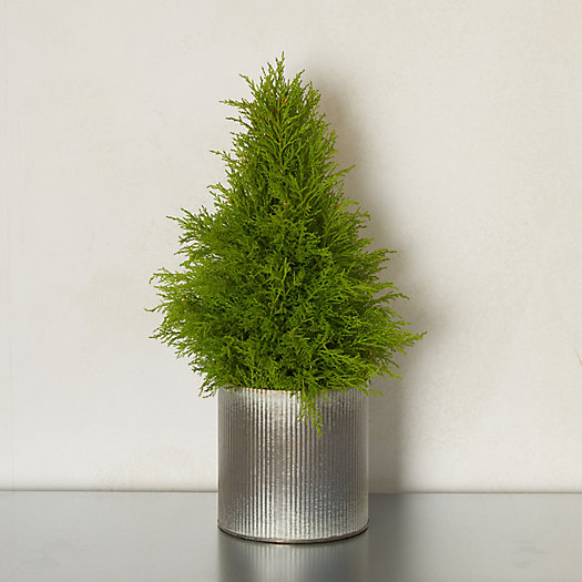 View larger image of Lemon Cypress Cone Topiary, Ribbed Metal Pot