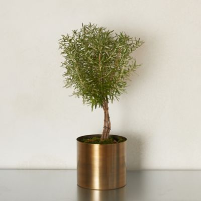 Rosemary Topiary, Bronzed Metal Pot