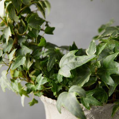 English Ivy Hoop Topiary Metal Urn Terrain