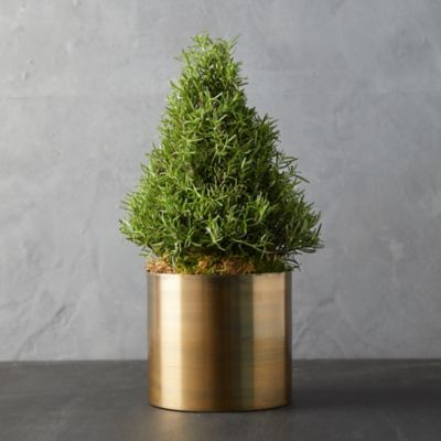 Rosemary Cone Topiary, Bronze Pot
