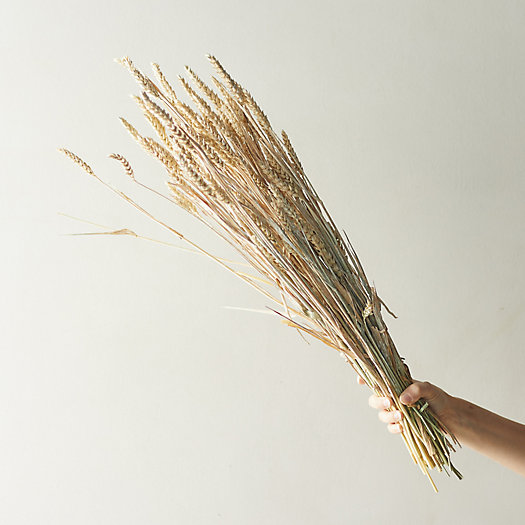 View larger image of Dried Triticum Bunch