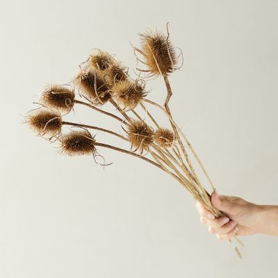 Dried Dipsacus Bunch