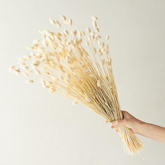 View larger image of Dried Phalaris Bunch