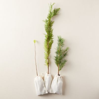 Live Cedar + Black Tupelo Saplings, Set of 3