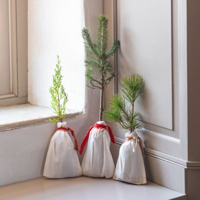 Live Cedar and Spruce Saplings, Set of 3