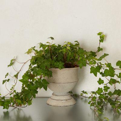 English Ivy, Metal Urn