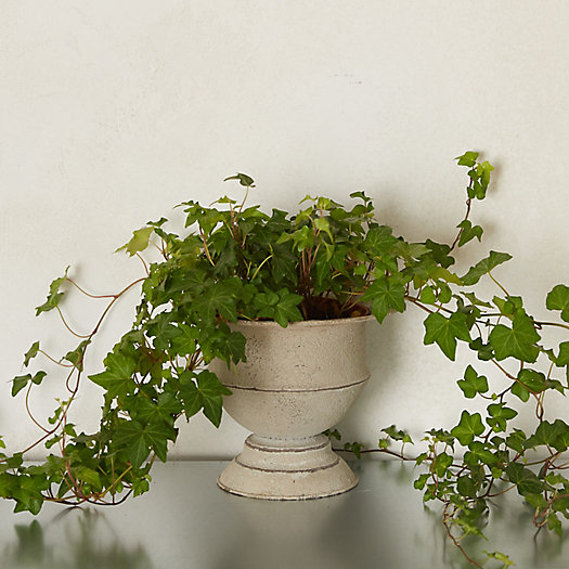 View larger image of English Ivy, Metal Urn