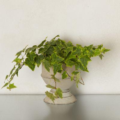 Variegated English Ivy, Metal Urn