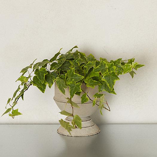 View larger image of Variegated English Ivy, Metal Urn