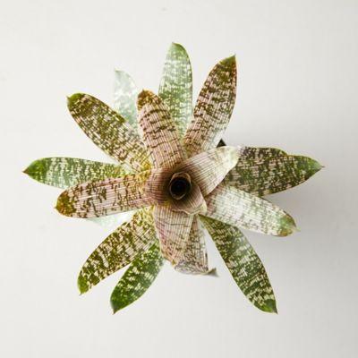 Vriesea Nova Plant
