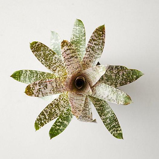 View larger image of Vriesea Nova