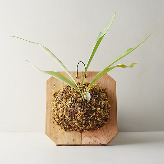 """View larger image of Mounted Staghorn Fern, 12"""""""