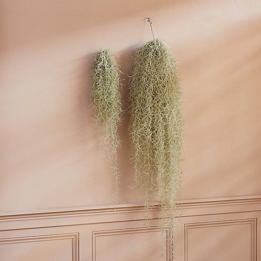 View larger image of Fresh Spanish Moss Chandelier