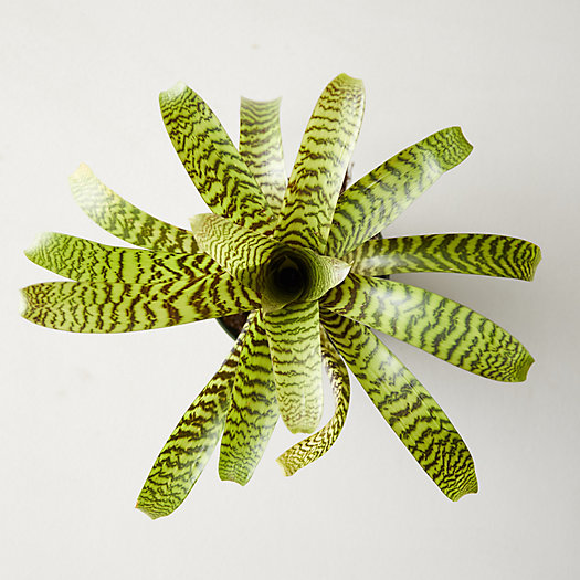 View larger image of Vriesea Hieroglyphica Plant