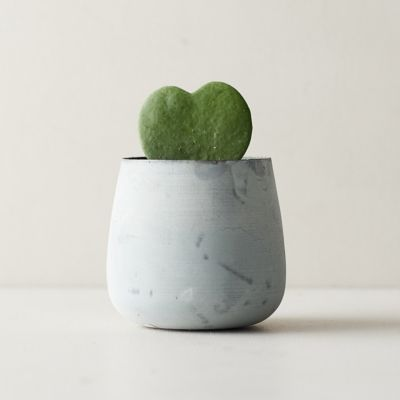 Hoya Heart, Metal Pot