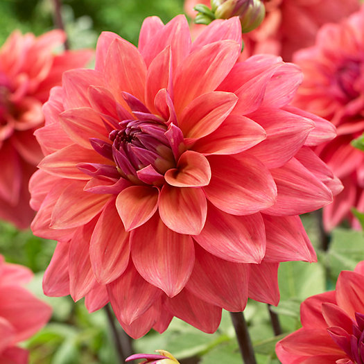 View larger image of Dahlia 'American Dawn' Bulbs