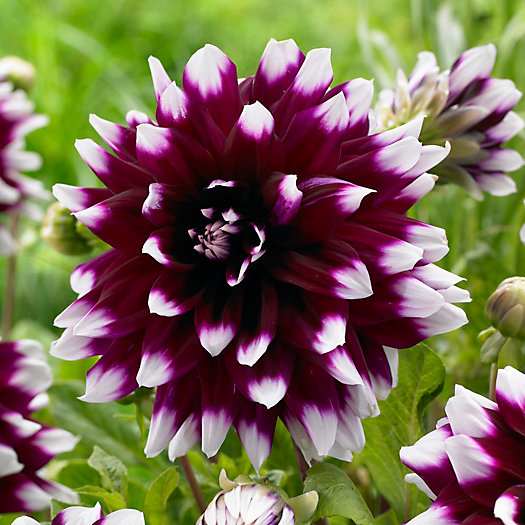 View larger image of Dahlia 'Mystery Day' Bulbs