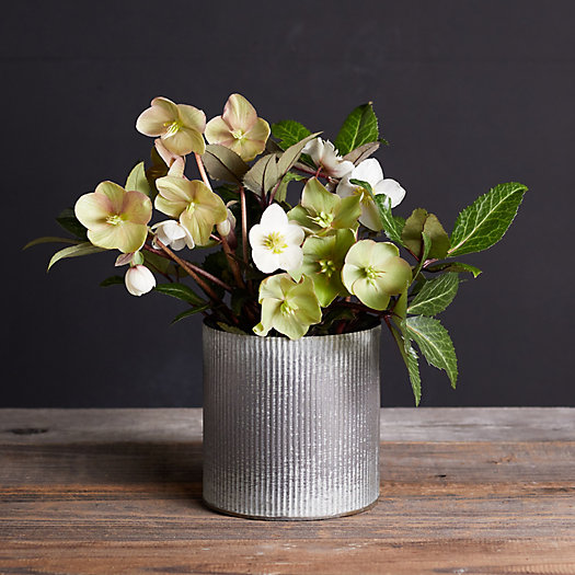 View larger image of Frostkiss Hellebore, Metal Pot