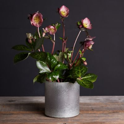 Pippa's Purple Hellebore, Metal Pot