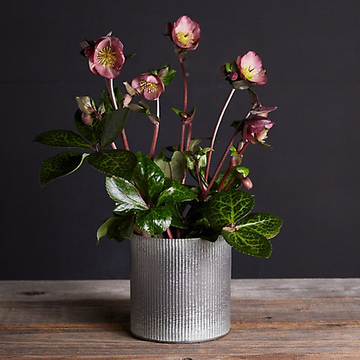 View larger image of Pippa's Purple Hellebore, Metal Pot