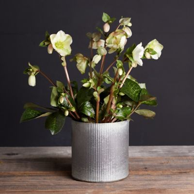 Molly White Hellebore, Metal Pot